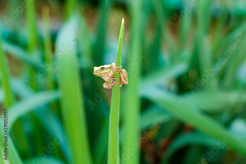 Photo Australian Green or European green Tree Frog on a leaf or on a grass stalk    (Hyla arborea formerly Rana arborea) lurking for prey in natural environment