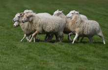 A Herd Of Running Steps On A Green Meadow.