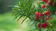 Yew, Ripe Red Berries On A Branch, Green Background.