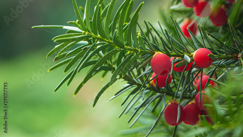Fotografia Yew, ripe red berries on a branch, green background.