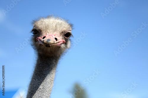 Autocollant pour porte Autruche African ostriches on an ostrich farm