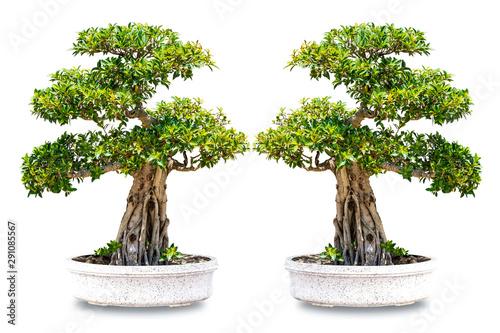 Poster Bonsai bonsai tree lsolated on white background