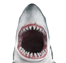 Great White Shark Open Mouth I...
