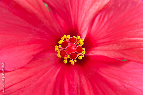 pistil and stamens of pink hibiscus flower - macro Tablou Canvas