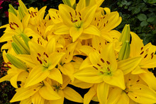 Yellow Lilies In The Garden
