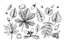 Detailed Hand Drawn Sketch Of Autumn Leaves And Forest Design Elements Isolated On White. Vector Illustration. Vintage Line Art
