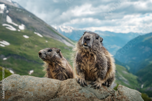 Fototapeta marmot in the mountains obraz