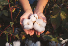 In The Hands Of The Cotton Grower Harvested Cotton