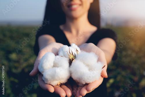 Deurstickers Bloemenwinkel natural product, raw cotton flowers on woman's hands on green cotton field outdoor background