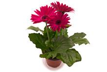 Pink Gerbera Daisy Flower In A Flower Pot