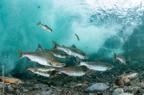 School of Karafuto Trout