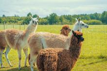 Cute Alpacas And Lamas At The ...