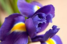 Purple Iris In Close Up