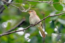 Nachtigall (Luscinia Megarhynchos) - Nightingale