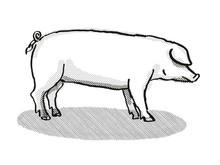 British Landrace Pig Breed Car...