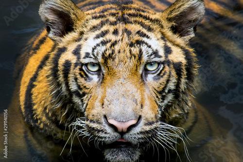 portrait of a bengal tiger. Canvas Print