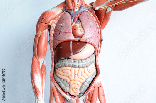 human muscle anatomy model Canvas Print