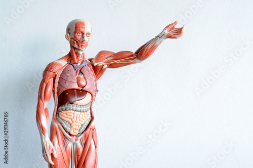 Photo human muscle anatomy model