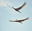 Leinwandbild Motiv sandhill cranes in flight against the sky