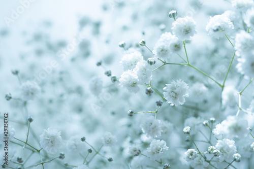 カスミソウ 淡い水色の背景素材 Fototapete