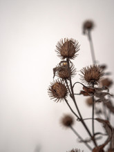 Closeup Of Dead And Dry Brown Burdock Flowering Seeds With Velcro-like Texture And Hooks In Rural Wisconsin In Winter With Cloudy White Sky Beyond.