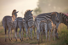 Zebra Herd With Young Ones Grazing On Grass And Wildflowers
