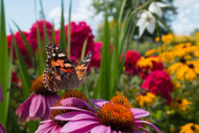 Garden Flowers Attract Beautiful Painted Lady Butterfly For Pollination