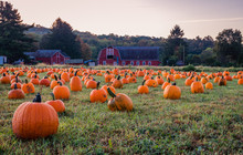 Pumpkins Placed For Picking Ne...