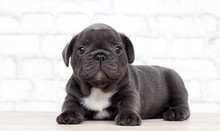 Puppy French Bulldog On The Brick Wall Background