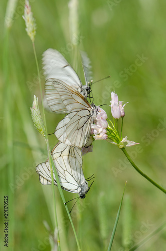 Photo Black-veined White, Aporia crataegi, group of butterflies mating, courtship,, Andalusia, spain
