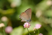 False Ilex Hairstreak, Butterfly (Satyrium Esculi) Basking In Sun, Andalusia, Spain.