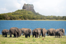 Group Of Elephants Near Sigiri...