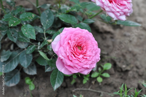 Garden Poster Pink pink rose in garden