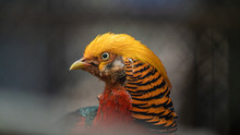 Colorful Golden Pheasant Wildl...