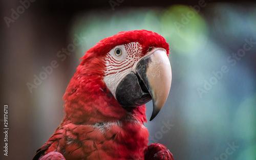 Photo  Crimson Rosella Bird Wildlife Animal