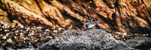 Galapagos Penguin On Galapagos...