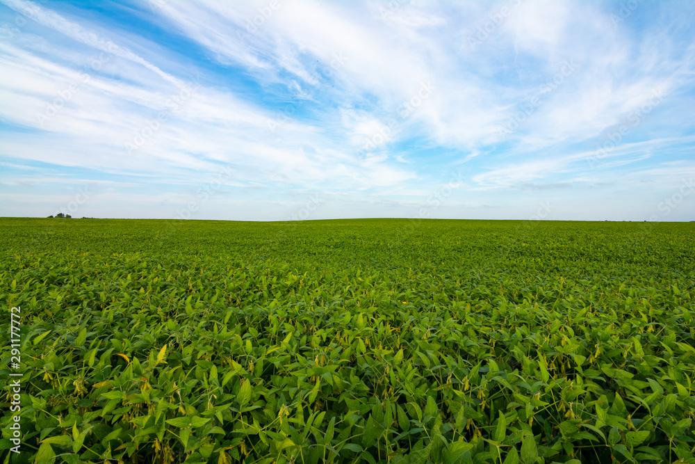 Fototapety, obrazy: Soy beans