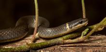 Ringneck Snake (Diadophis Punc...