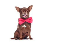 Happy Brown Chihuahua Dog Wear...