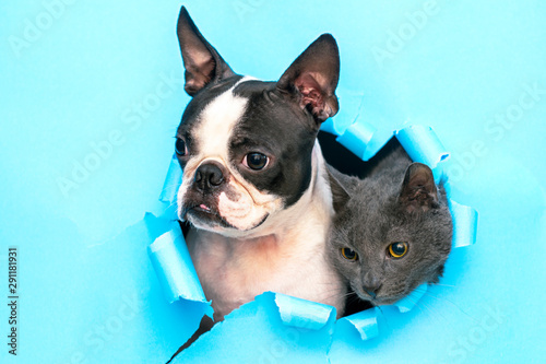 Bouledogue français A gray cat and a Boston Terrier poke their heads out of a hole in the paper.