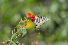 Southern Scarce Swallowtail, Iphiclides Feisthamelii Butterfly, Feeding On Thyme. Spain.