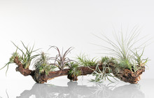 Tillandsia On The Wine Root