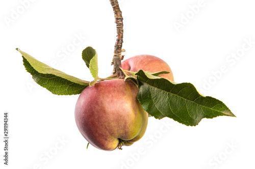 Apple tree branch isolate. Branch with fruits of red apples and green leaves on an isolated white background. - 291194344