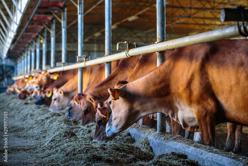 Fotomural cows dairy breed of Jersey eating hay fodder in cowshed farm somewhere in centra