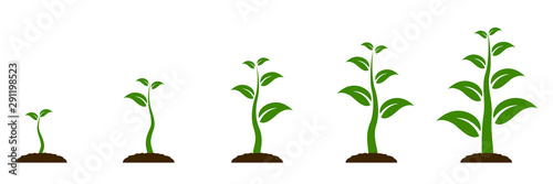Obraz Evolution concept. Phases plant growing. Seeds sprout in ground. Planting tree infographic. Sprout, plant, tree growing agriculture icons. Planting tree process, business concept flat design - vector - fototapety do salonu