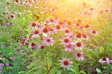 Pink Echinacea Flowers. Close ...