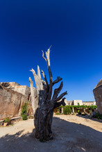 Iconic Burnt Cypress In The Courtyard Of The Arkadi Monastery, Crete, Greece