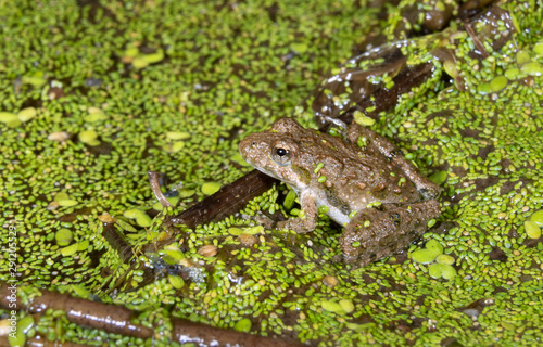 Blanchard's Cricket Frog (Acris blanchardi) camouflaging at the edge of forest swamp, Iowa, USA Wallpaper Mural