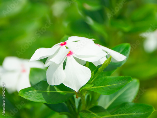 catharanthus roseus flowers used to produce cancer drugs,background Wallpaper Mural