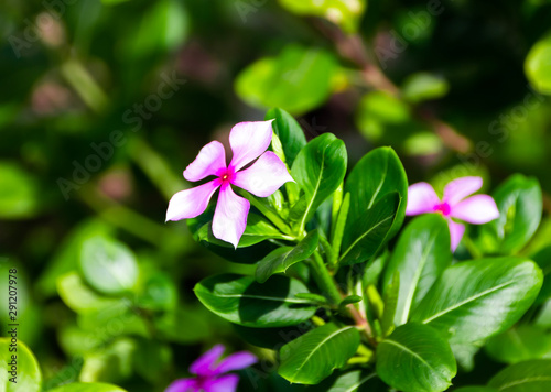 catharanthus roseus flowers used to produce cancer drugs,background Canvas Print